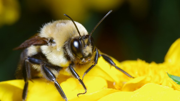 Why It's So Hard to Figure Out What's Killing the Bees