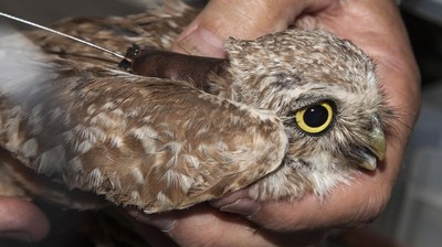 Researchers Are Putting Little Backpacks on Owls for a Good Reason