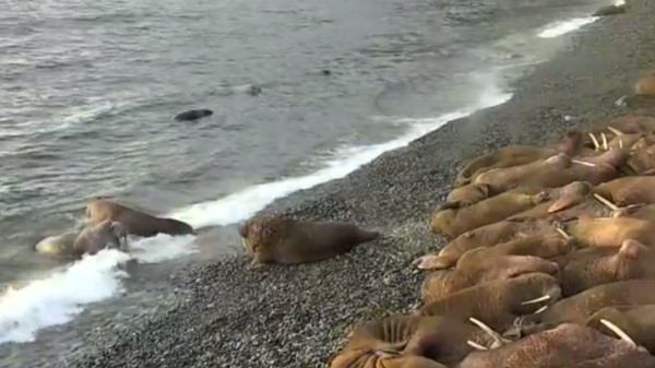 Watch a Livestream of Walruses Laying on a Beach Like Happy Fat Bean Bag Chairs