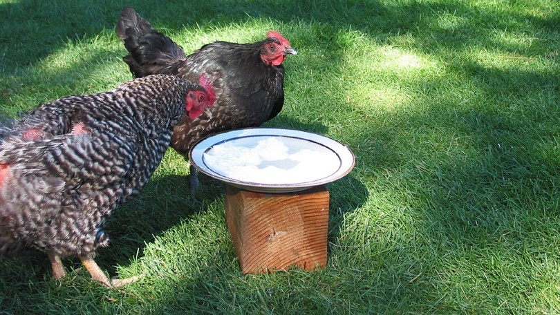 'Probiotic Yogurt' for Chickens Could Help Us Fight Superbugs