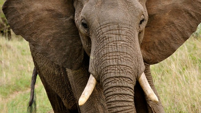 Here's What China's Ivory Ban Will Actually Mean for the World's Elephants
