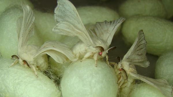 Silkworms Will Mass-Produce Spider Silk Because Spiders Won't