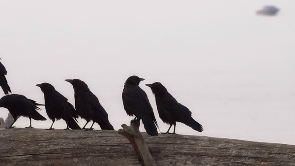 The Unexpected Genius of Corvids