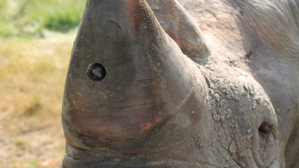 Rhinos With Spy Cams in Their Horns Will Catch Poachers in the Act