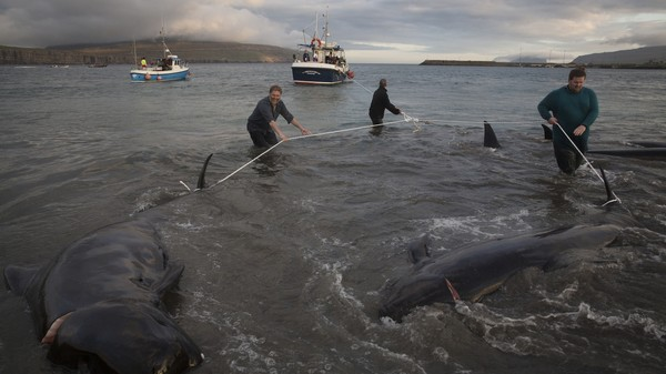 Activists Square Off Against Whale Hunters in the Faroe Islands