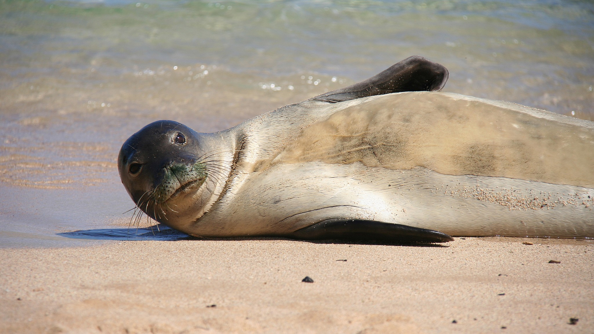 The Sneeze That Could Wipe Out Hawaii's Seals