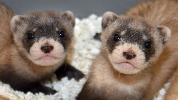 Frozen Jizz from the 80s Is Helping Save this Endangered Ferret
