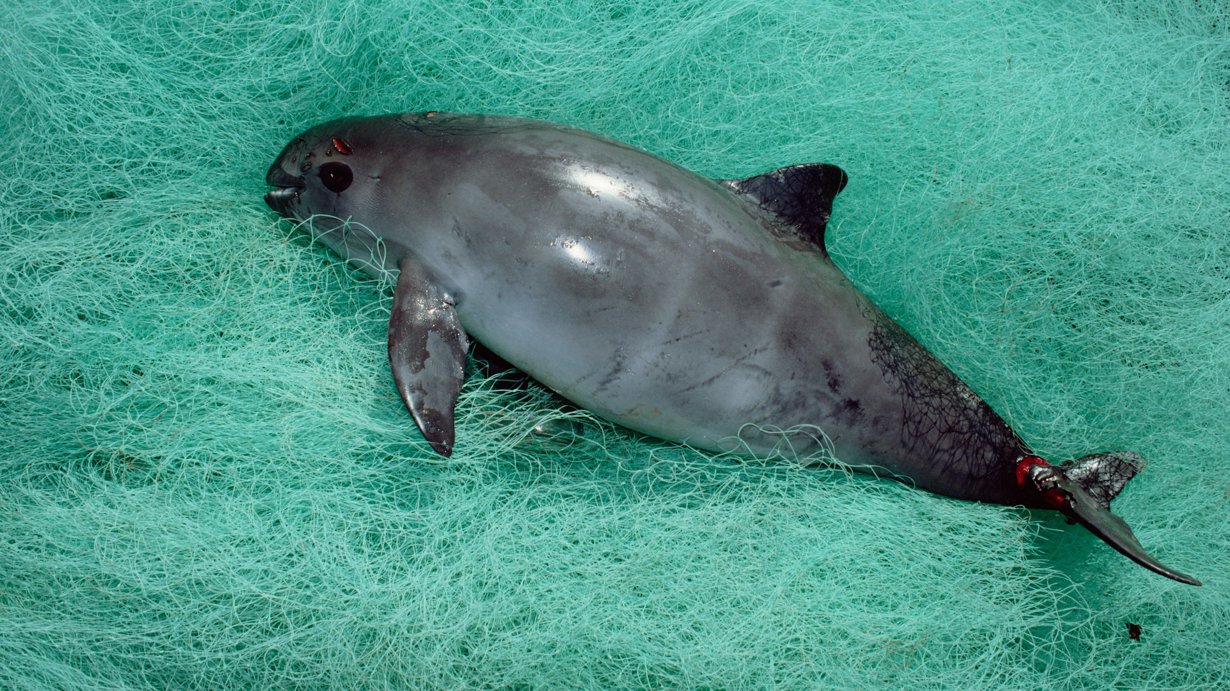 ​The Race to Save the Vaquita, the World's Most Endangered Marine Mammal