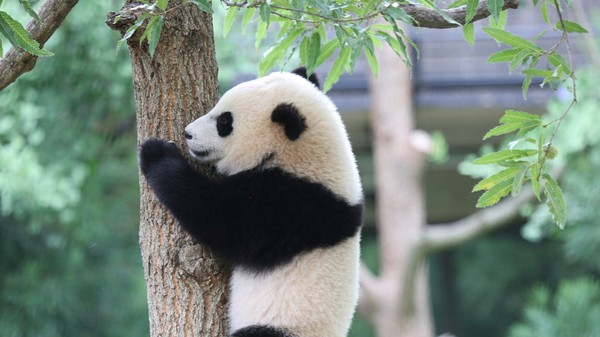 Why Is It So Hard to Breed Giant Pandas?