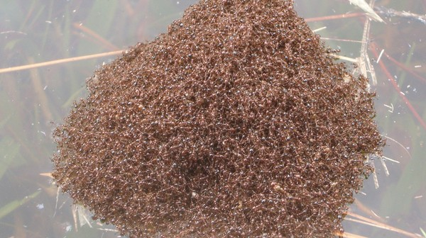 Floating Rafts of Fire Ants Have Been Sighted in the Carolina Floods