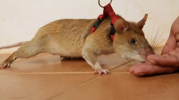 A Belgian Nonprofit Is Using Giant Rats to Sniff Out Landmines