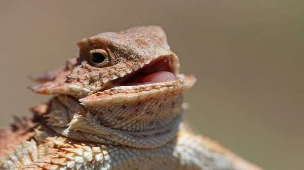 We Talked to an Ecologist About the Ethics of Owning a Horned Lizard