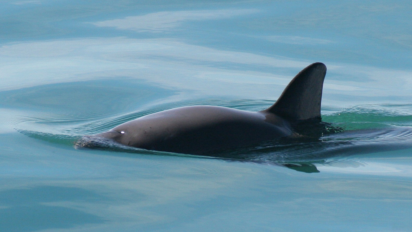 The World's Most Endangered Marine Mammal Might Have Just Got a Lifeline