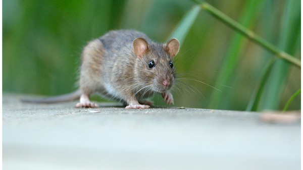 This Common Asthma Drug Made Old Rats Act Like Young Rats Again