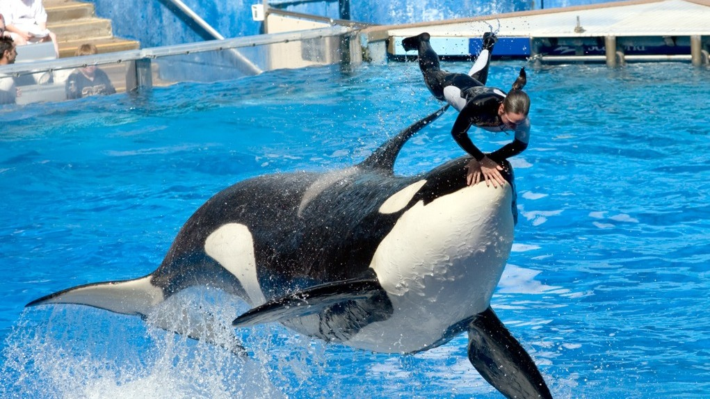 SeaWorld Can't Afford to Get Rid of Orcas