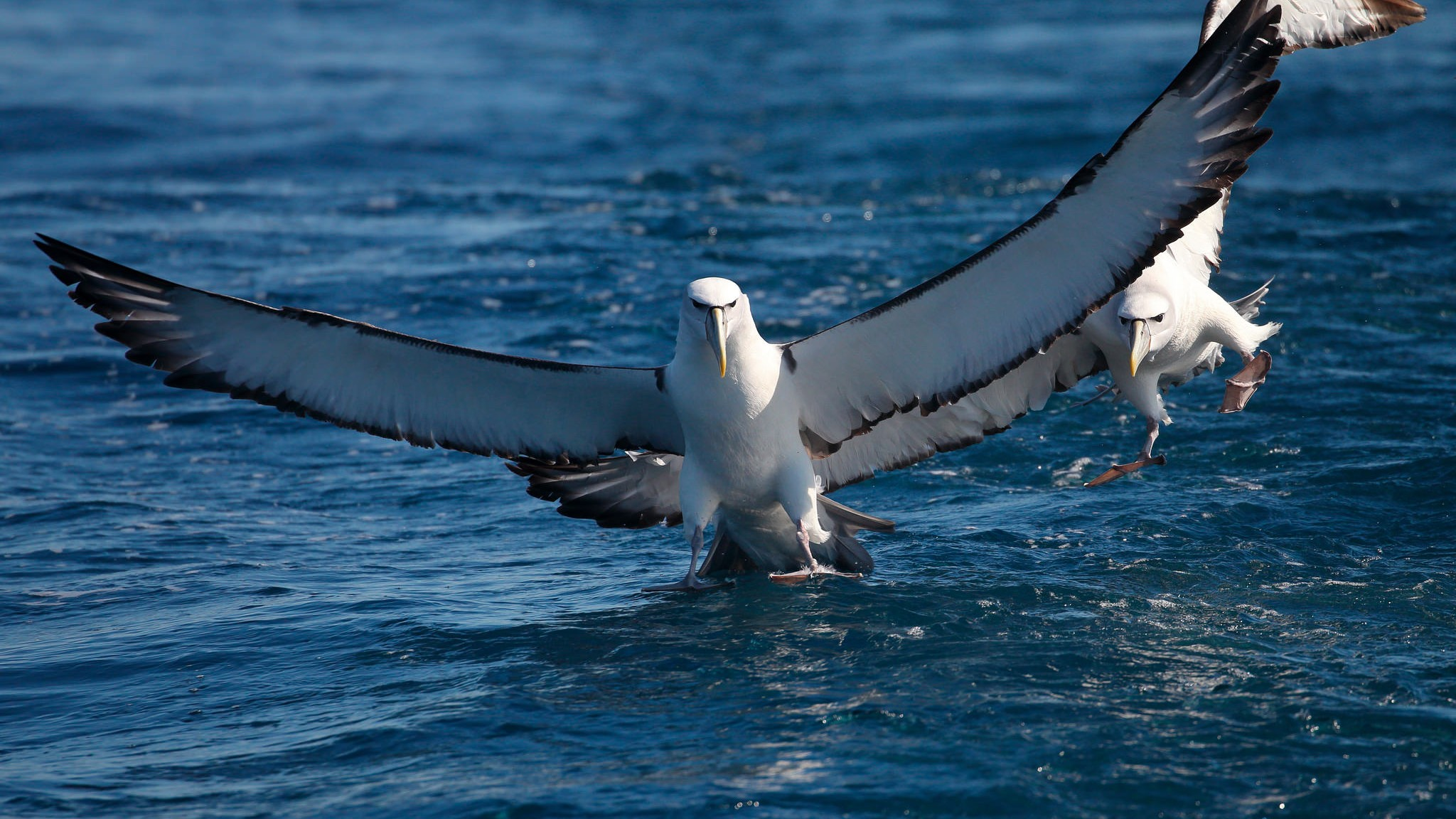 A Gigapixel Camera Turned This Island into an Albatross 'Truman Show'