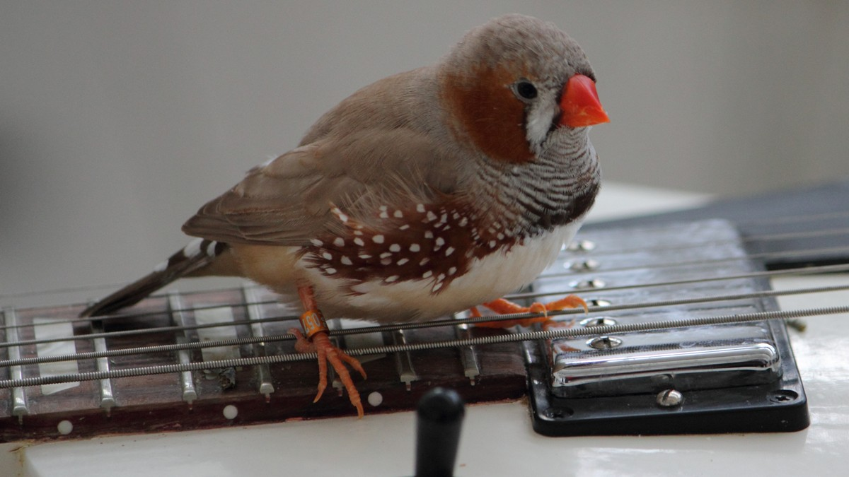 These Zebra Finches Can Play Better Guitar Than You