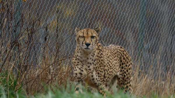 Cheetahs Are Hard