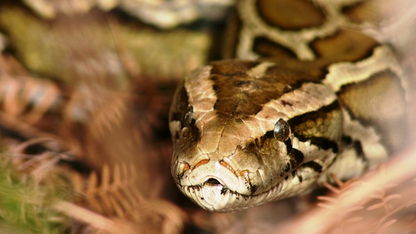 Why Snakes' Biggest Defenders Are In Favor of Killing Them
