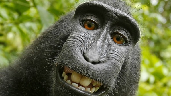 Judge Gives Monkey Second Chance to Sue for Copyright Infringement