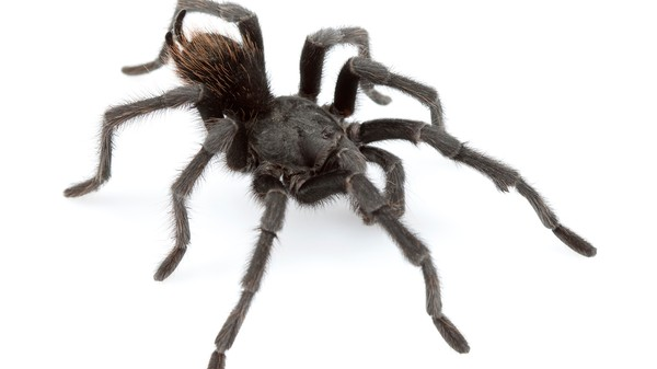 A Tarantula Named Johnny Cash