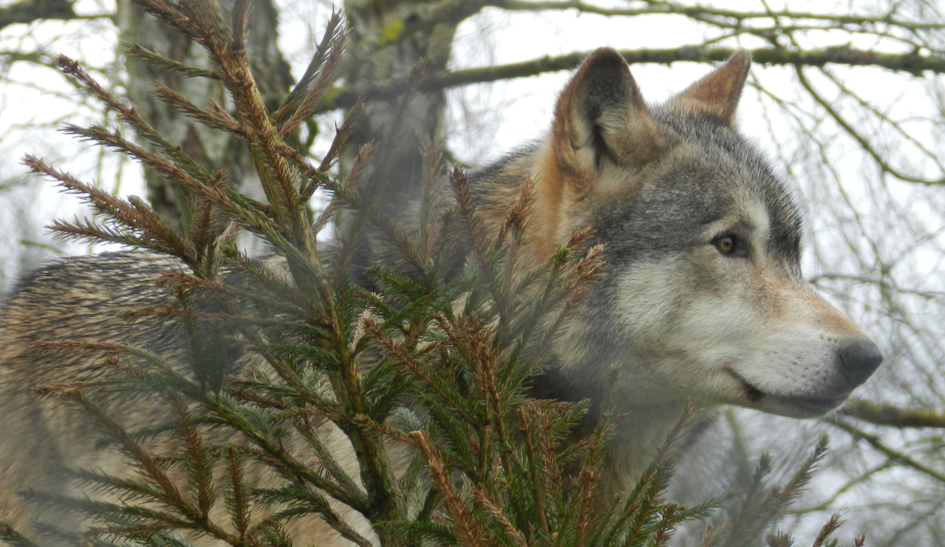 Wolves Have Different 'Howling