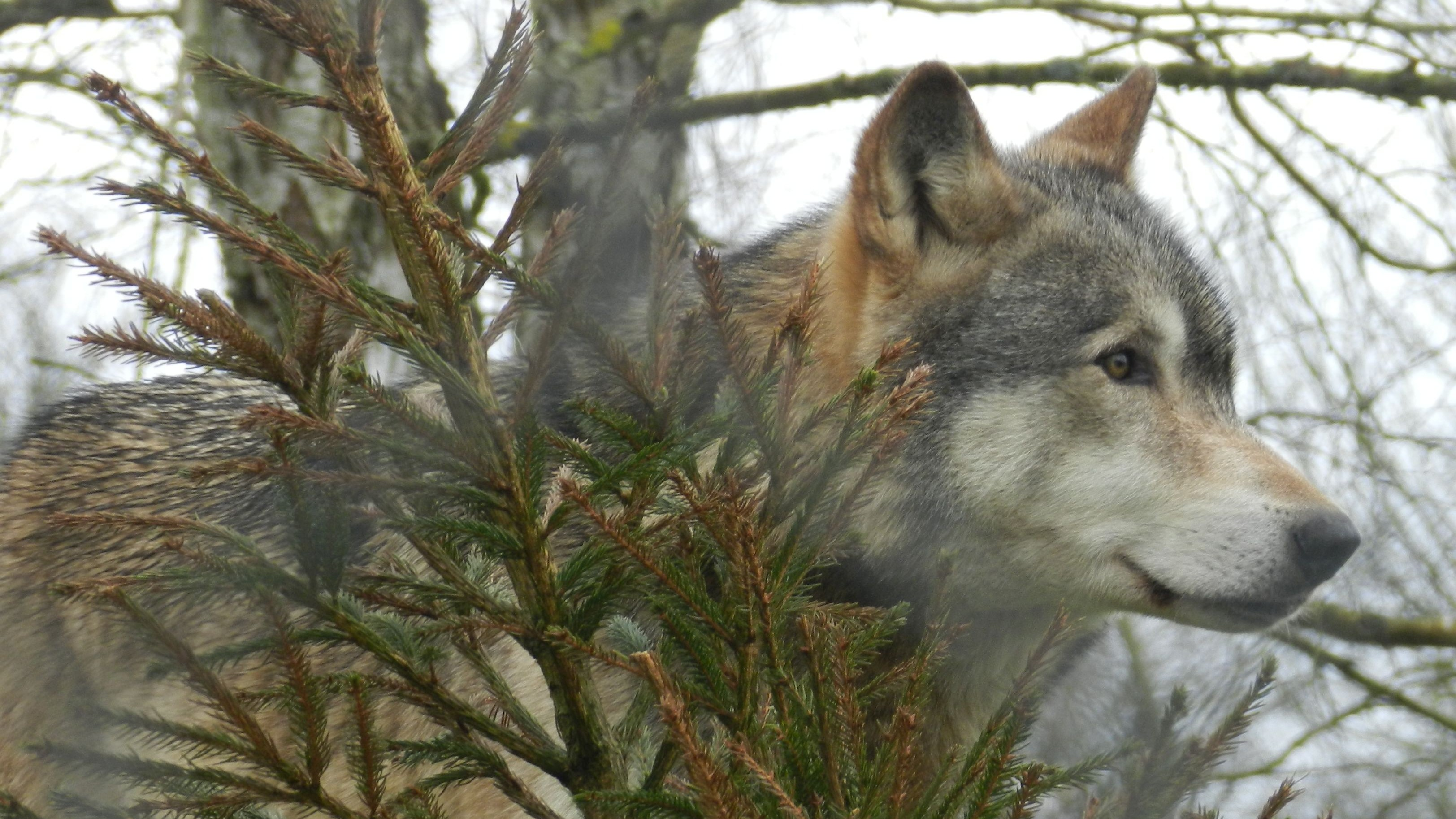 Wolves Have Different 'Howling Dialects,' Machine Learning Finds