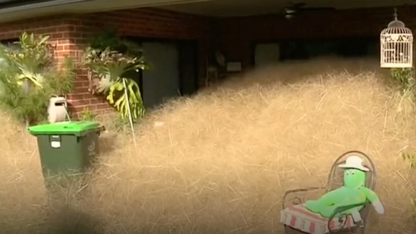A Grass Called 'Hairy Panic' Has Engulfed Part of a Small Australian Town