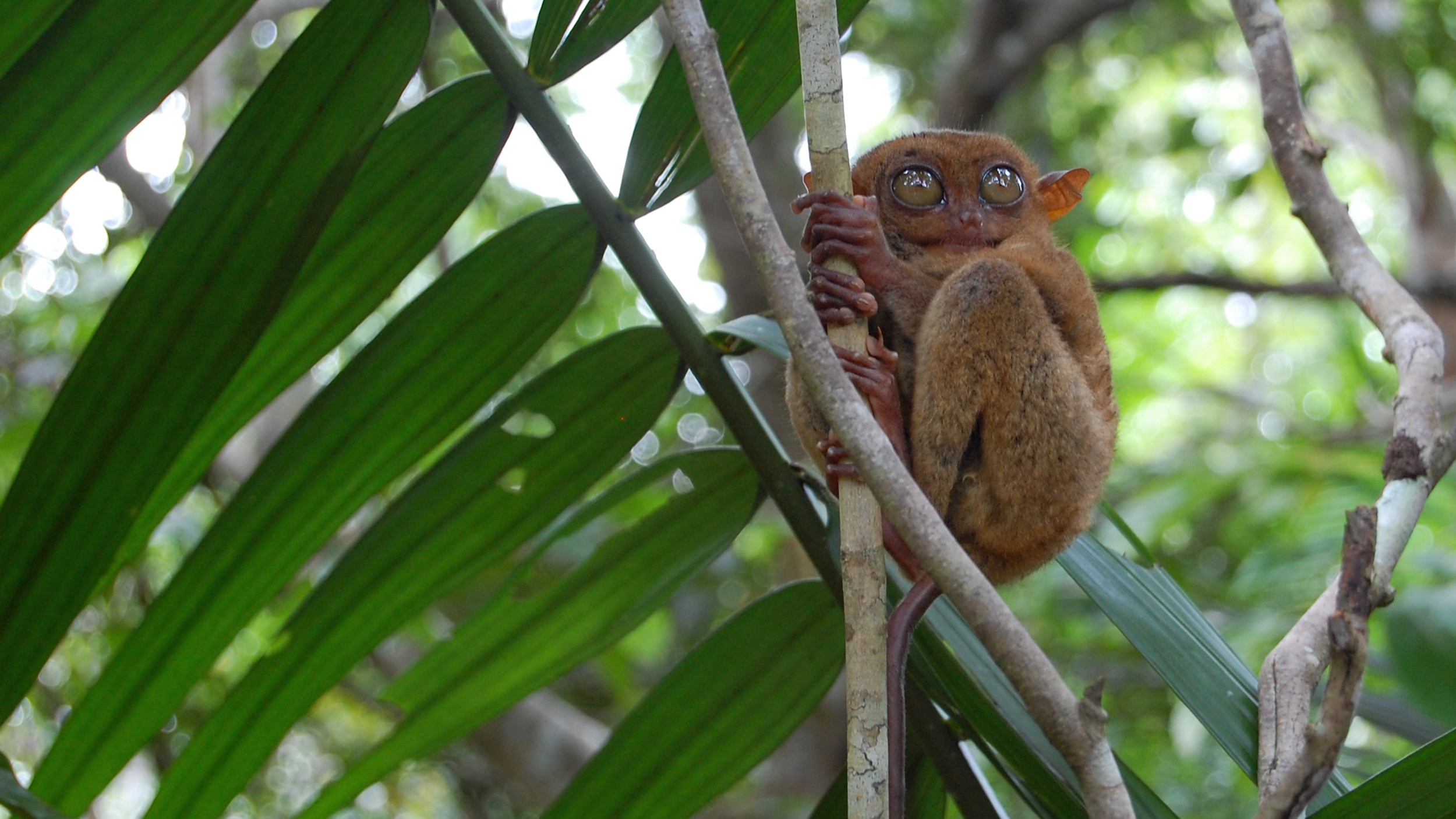 The Man Trying to Save the Philippine Tarsier from the Black Market