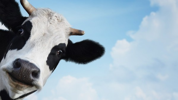 The Internet of Cows Is Real