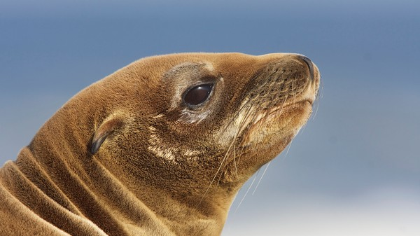 Climate Change Is Stranding Hundreds of Dying Baby Sea Lions in California