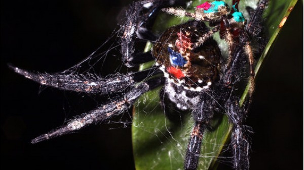This Male Spider Gives Oral Up to 100 Times During Copulation