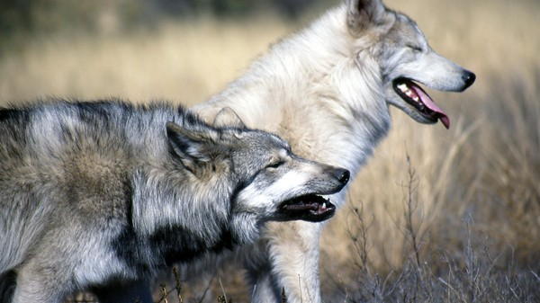 Legally Killing Wolves Is Putting Them More at Risk from Poachers
