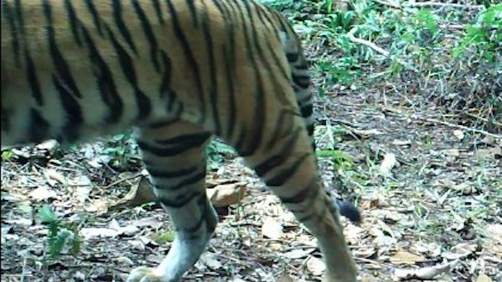 See Baby Wild Pigs, Tigers, and Tapirs Caught on a Camera Trap