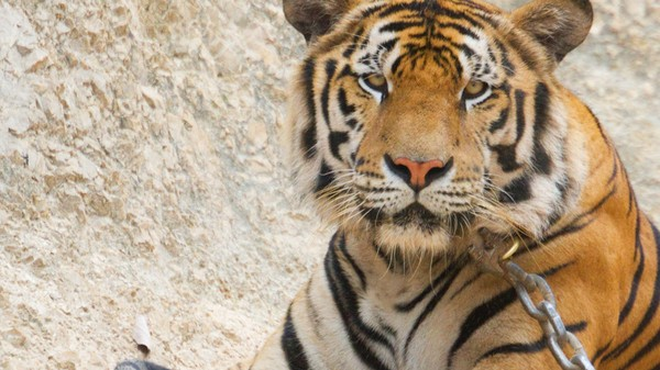 The Famous Tigers of Tinder Have Been Saved from Their Drugged-Up Hell