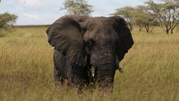 Can the US Ivory Ban Actually Stop Poaching?
