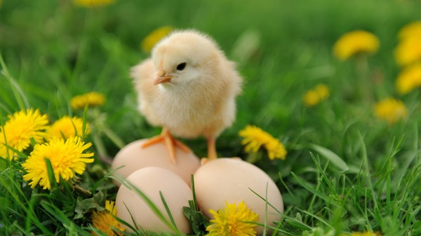 Watch These Adorable Chicks Hatch Sans Eggshell
