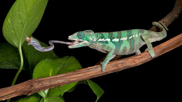 Chameleon Spit Is a Wonder of Physics
