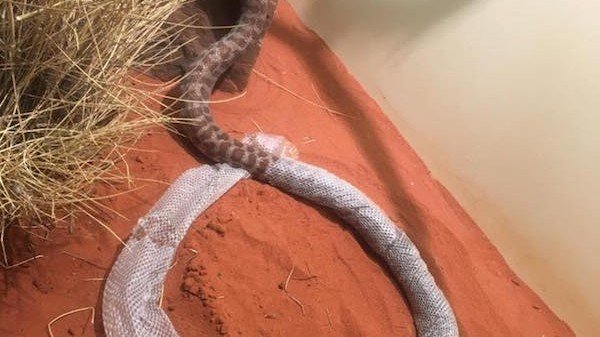 Snake Gets Stuck In Its Shed Skin for Three Hours, Is Kind of Mesmerizing