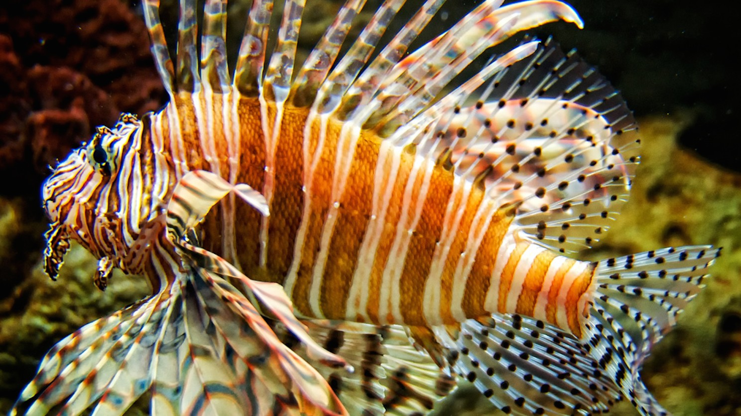 Rising Sea Temperatures Are Luring Carnivorous Lionfish into the Mediterranean