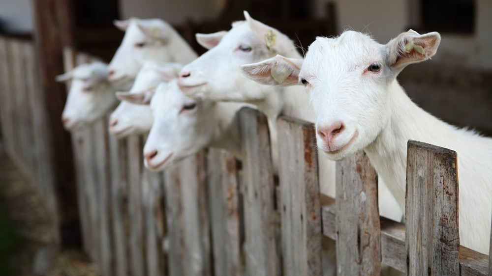Like Dogs, Goats Bond with Humans Through Eye Contact
