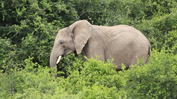 How Anti-Terrorism Tactics Are Being Used to Fight Elephant Poaching