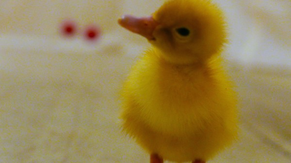 ​Oh My God, Ducklings Are Capable of Abstract Thought
