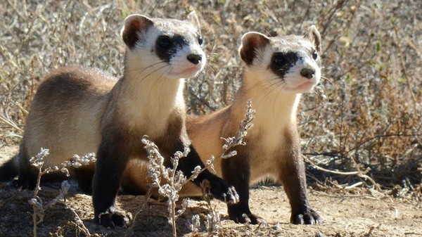 How Drone-Delivered Peanut Butter Treats Could Save This Endangered Ferret