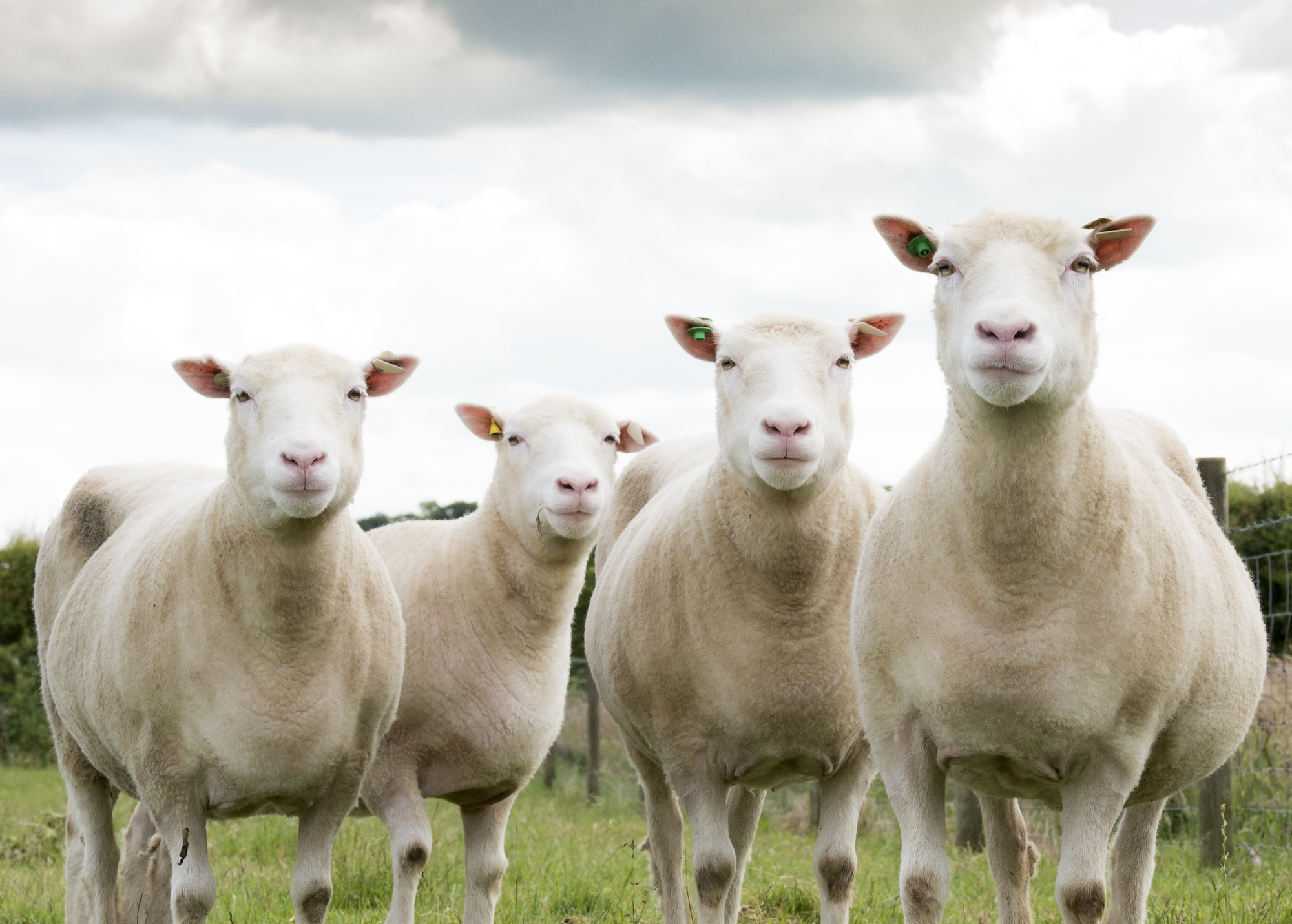 Dolly the Sheep Clones Are