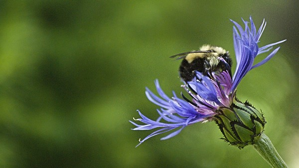 Another Reason We Can't Live Without Bees: They Can Deliver Pesticides