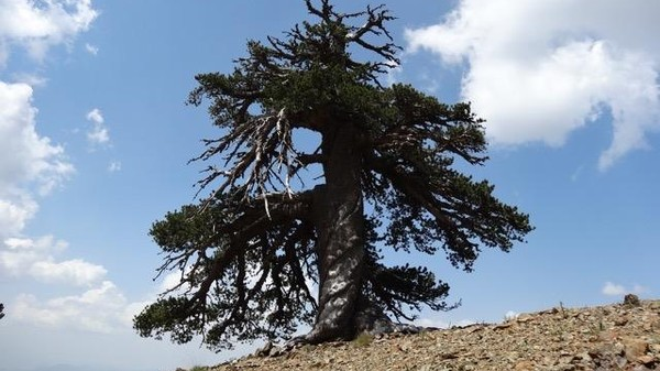 While Seeking Climate Data, Scientists Found Europe's Oldest Tree