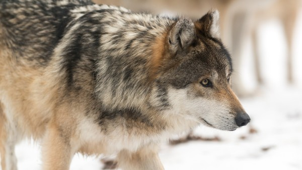 Washington State Is Killing a Pack of Endangered Wolves to Keep Ranchers Happy