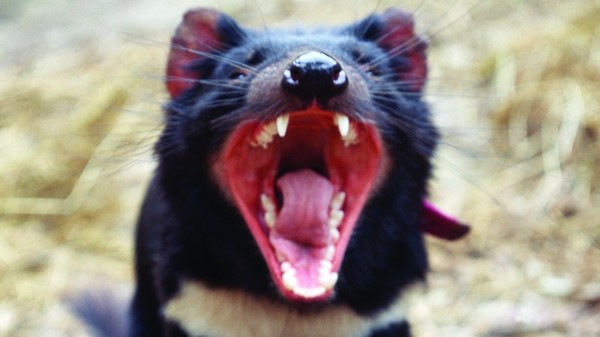 Tasmanian Devils Are Becoming Resistant to Species-Ending Infectious Cancer