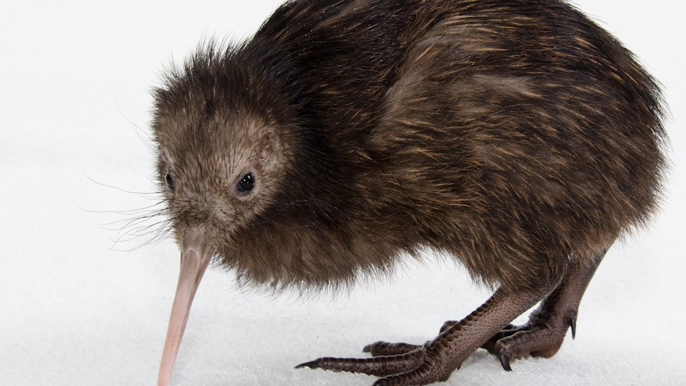 Apparently, New Zealand's Ice Age Was a Great Time For Kiwi